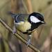 Great Tit Leighton Moss RSPB F00037 D210bob DSC_8774