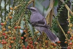 1.26213 Moqueur des savanes / Mimus gilvus tolimensis / Tropical Mockingbird