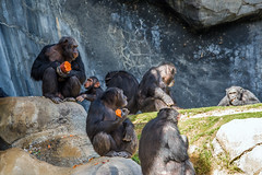 Chimpanzee - Los Angeles Zoo