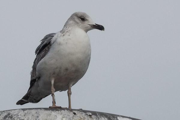 Heuglin's Gull - juvenile