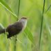 Young reed warbler, warbling
