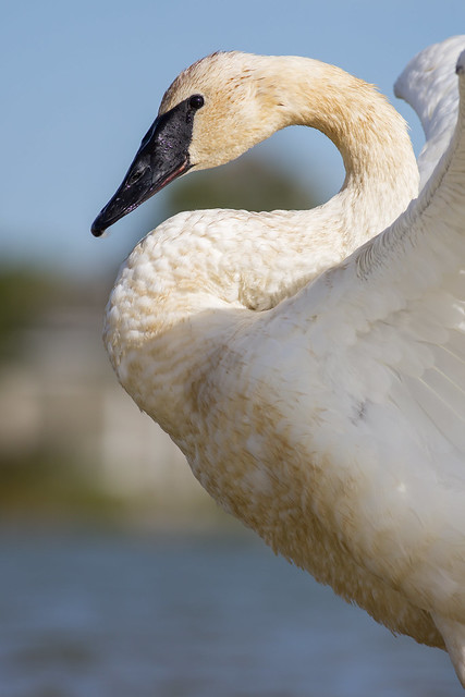 Trumpeter Swan, Canon EOS 5D MARK III, Canon EF 400mm f/5.6L