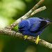 Purple Honeycreeper male, Asa Wright, Trinidad by annkelliott