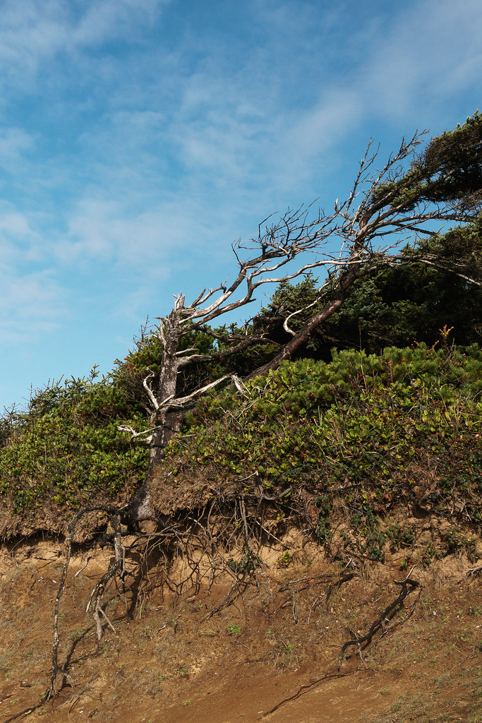 An old tree with its roots exposed at the edge of a cliff at Seal Rock on the Oregon coast