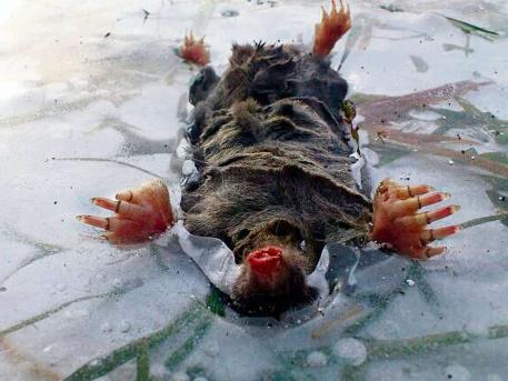 Mole frozen in the ice