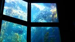 Monterey Bay Aquarium: Feeding the Sharks
