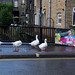 FX305447-1 Ducks