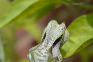 DSC_6423 Ceropegia stapeliiformis ssp. serpentina セロペギア スタペリフォルミス