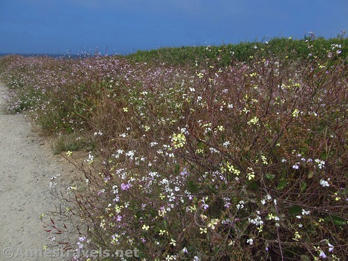 Wildflowers along the trail to Glass Beach, California