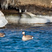 Canada Goose Escort for the Lone Snow Goose