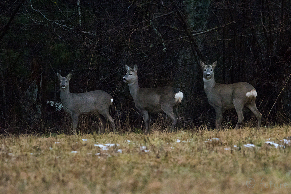 Metskits, kits, kitsed, three, Roe, deer, Capreolus, Estonia, doe, Nigula, Reserve, Kaido Rummel