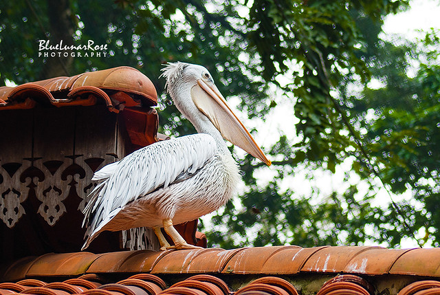 Mr. Pelican on his roof