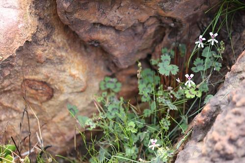 Pelargonium patulum