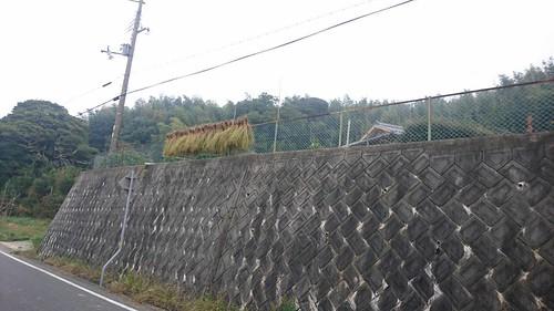 フェンスでも稲を干すスタイル
