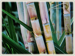 Large stems of Saccharum officinarum (Sugarcane, Sugar Cane, Tebu in Malay) that are jointed-like bamboo about 5 cm in diameter, 23 Dec 2017