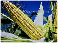 Fruit of Zea mays (Maize, Corn, Sweet Corn, Indian Corn, Jagung in Malay) is arranged in 16-30 consecutive rows of spikelets, 20 Dec 2017
