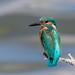 Kingfisher by Linda Martin Photography