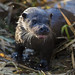 Little Ouse Otter by Chris Bainbridge1