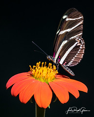 """A Great Surprise!"" A zebra longwing butterfly visits Athens, Georgia. - Judy Royal Glenn Photography"