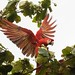 Scarlet macaw - Cerro Lodge, Tarcoles, 10Dec2017 by keithcarver