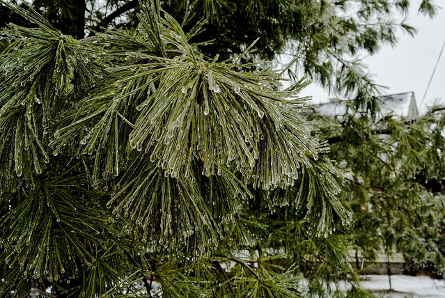 Ice on the Pine