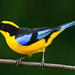 Blue-winged Mountain Tanager by Christine Miller