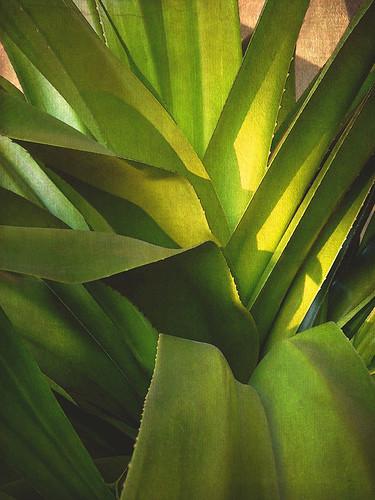 Yucca in the gardens of Las Brisas in Huatalco, Mexico