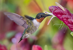 Ruby Throated Hummingbirds Gallery