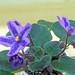 非洲紫羅蘭 Saintpaulia RS Lavender Fairy Tale   [香港北區花鳥蟲魚展 North District Flower Show, Hong Kong]