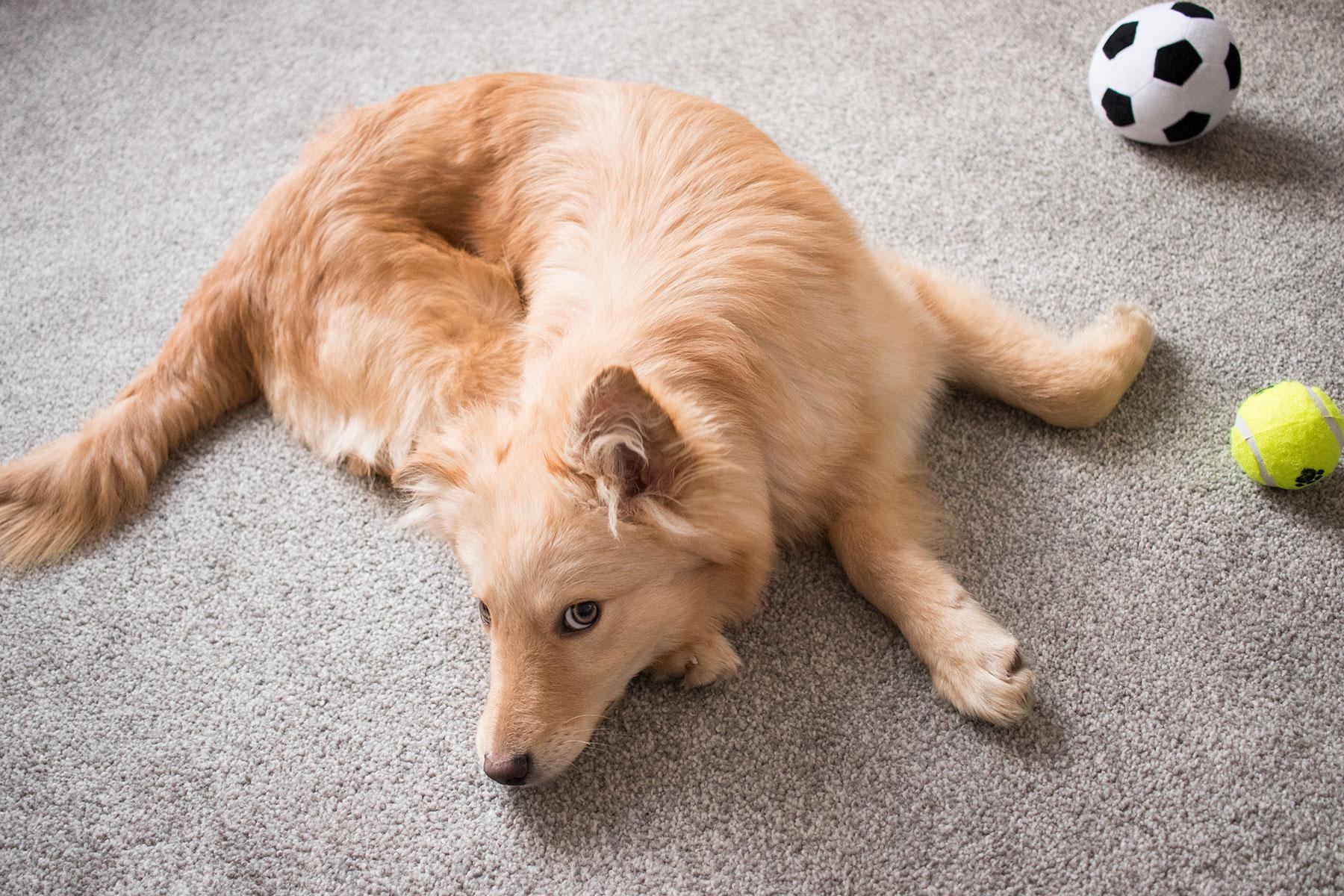 Nellie-the-foster-puppy