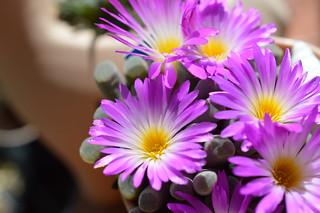 DSC_6240 Frithia pulchra フリチア 光玉