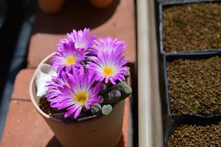 DSC_6236 Frithia pulchra フリチア 光玉