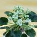 非洲紫羅蘭 Saintpaulia Emerald Love Sport   [香港北區花鳥蟲魚展 North District Flower Show, Hong Kong]