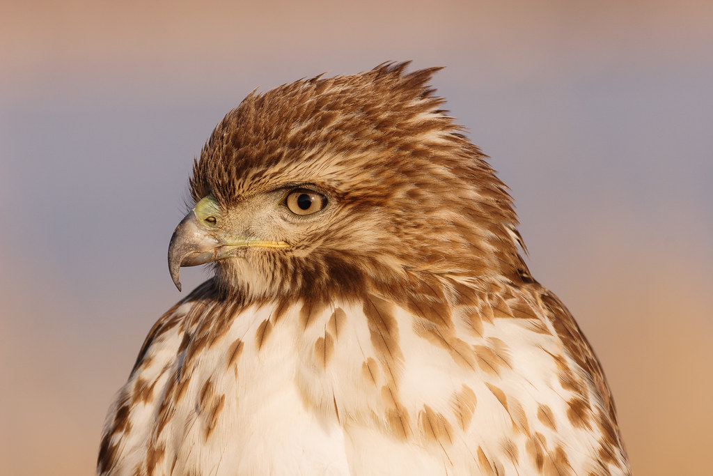 A close-up view of a juvenile red-tailed hawk