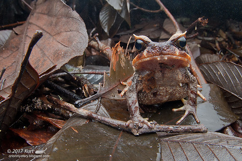 Xenophrys baluensis_MG_9160 copy
