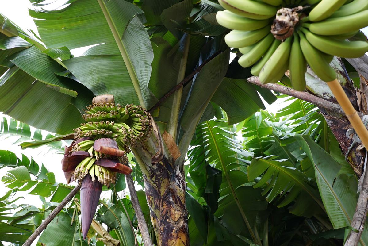 Цветок-банана_DSC09809