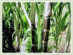 Rich green leaves of Saccharum officinarum (Sugarcane, Sugar Cane, Tebu in Malay) that are borne alternately on the stem, 5 Dec 2017