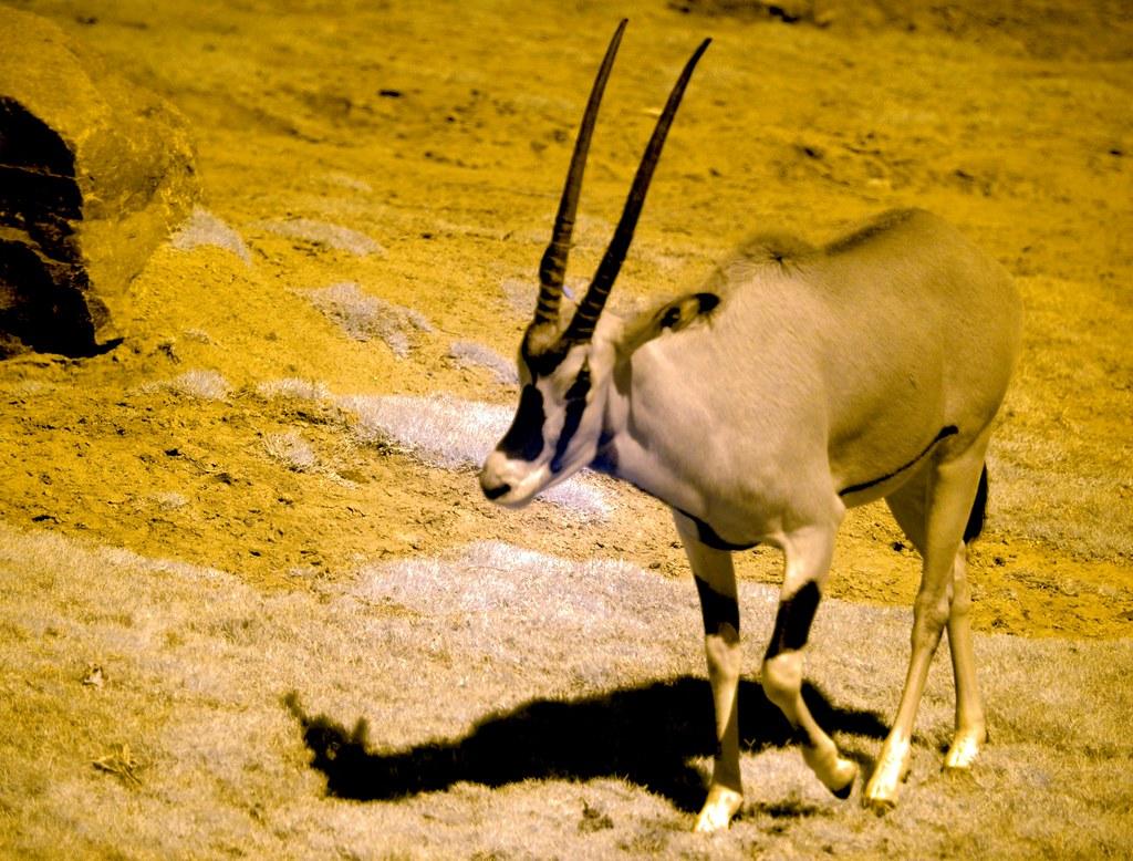 Antelope_8