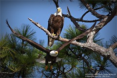 Bald Eagles shoot, 2013-12-22,Palm Harbor,Fl._IMG_2680_