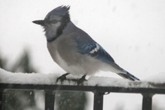 snow birds IMG_7223