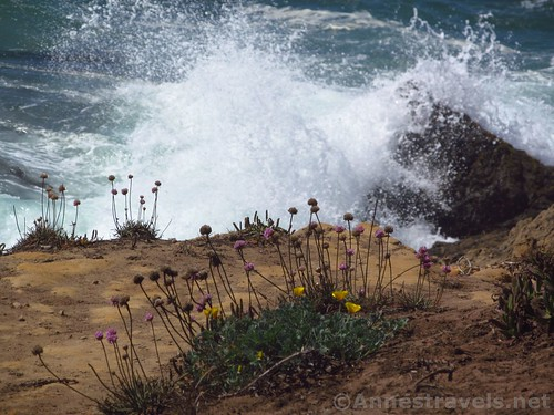 Wildflowers and waves along the trail north of Glass Beach, California