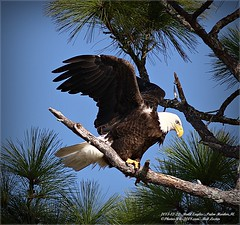 Bald Eagles shoot, 2013-12-22,Palm Harbor,Fl._IMG_2722_