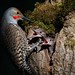 Northern Flickers (Colaptes auratus) DDZ_1603 by NDomer73