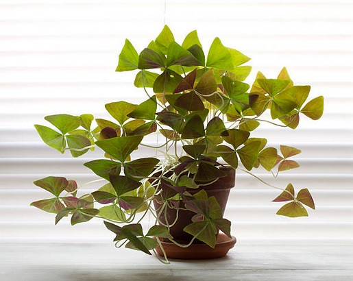 Top 5 House Plants - Shamrock