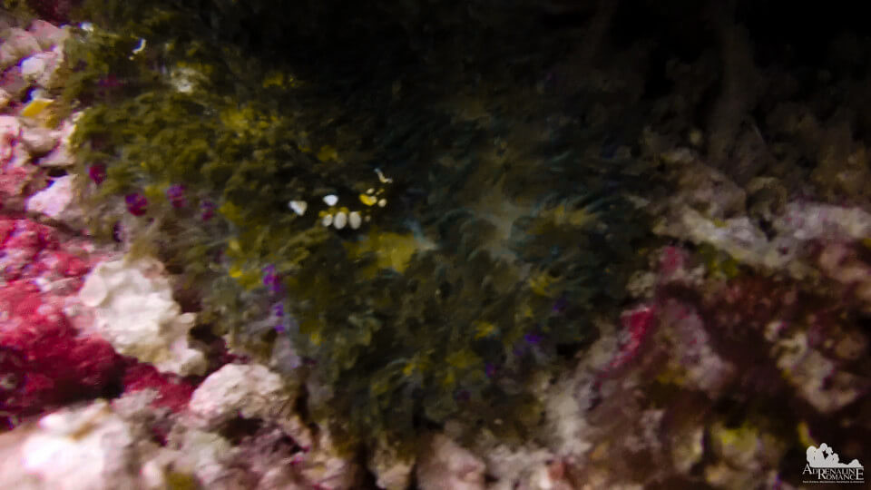 Glass Anemone Shrimp