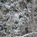 Great Gray Owl-45501.jpg