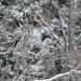 Great Gray Owl-45501.jpg