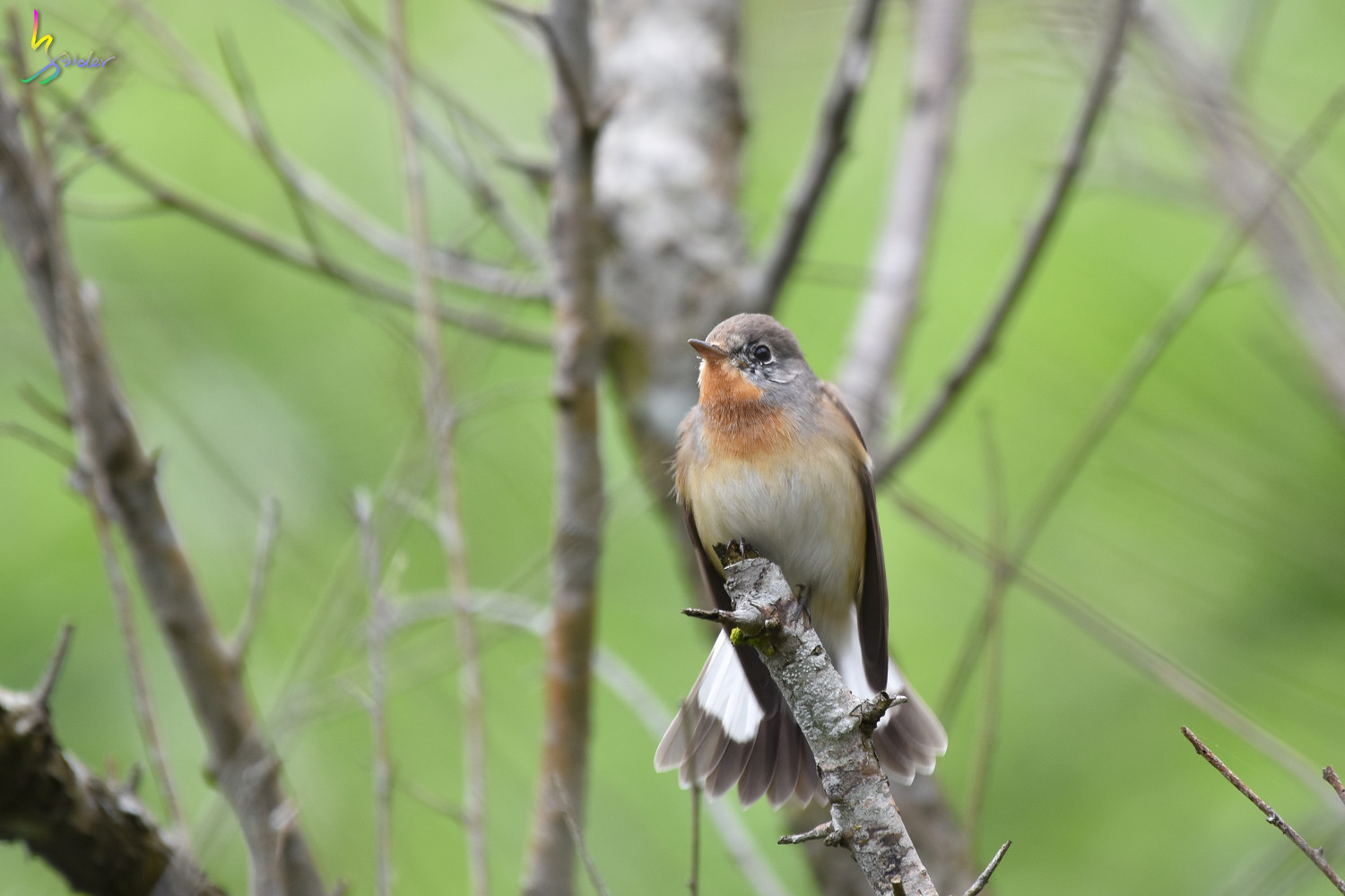 Red-breasted_Flycatcher_0837