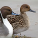 PINTAIL by _jypictures