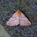 Feathered Thorn, Burntisland, Fife, Scotland
